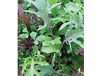 """Lettuce - Frilly Leaf Salad Mix 5 inch 13cm Pot """"cut n come"""" £1.00 SOLD OUT more next week"""