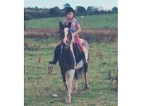 13.2hh 5 year old tri colour gelding