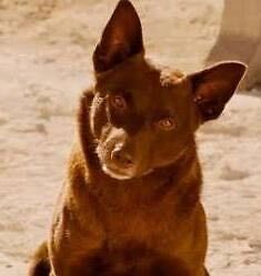 $$ Reward for Coco (red dog) Hamilton Hill Cockburn Area Preview