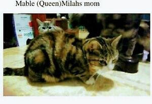Mom is a maine coon