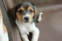Tri-Colour Beagle Puppies For Sale