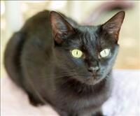 "Adult Female Cat - Domestic Short Hair: ""Jenga"""