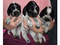 Cocker Spaniel Puppies for sale, PEDIGREE
