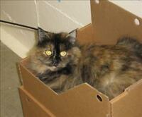 "Young Female Cat - Domestic Medium Hair: ""Muriel"""