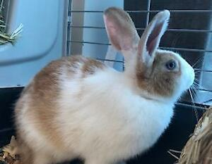 "Young Female Rabbit - Bunny Rabbit: ""SANDY"""