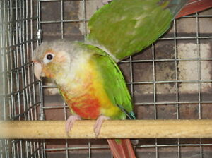 Proven pairs of CONURES (NOT TAME/FRIENDLY)