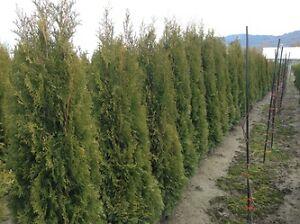 5-7 ft Emerald cedars, Yews, Western Red cedar 4 sale