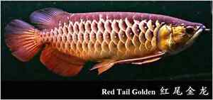 Wanting to buy a large Rtg arowana Welby Bowral Area Preview