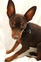 Young Male  - Miniature Pinscher