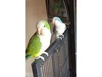 Look! Baby Quaker Parrots