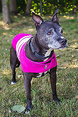 "Adult Female Dog - Pit Bull Terrier: ""Sage"""