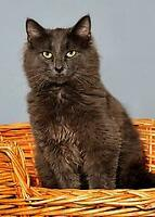 "Young Male Cat - Russian Blue: ""Oliver"" Ottawa Ottawa / Gatineau Area Preview"
