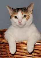 "Young Female Cat - Calico: ""Sasha"" Ottawa Ottawa / Gatineau Area Preview"