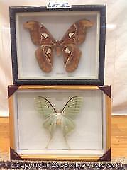 Pair Of Framed Moths