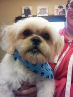 Shih Tzu/Terrier Mix Male For Sale