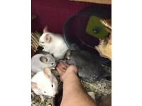 2 x Chinchilla pair *Forever home wanted*