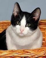 """Baby Male Cat - Domestic Long Hair-black and white: """"