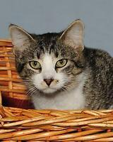 "Young Female Cat - Tabby - white-Tabby - Brown: ""Phoebe"" Ottawa Ottawa / Gatineau Area Preview"