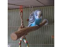 Budgie, free to a good home as i am moving away