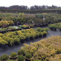 $500 LARGE SELECTION OF TREES, PLANTS, SHRUBS, HEDGES etc...