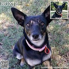 Roxie - Small Female Kelpie Mix Wilberforce Hawkesbury Area Preview