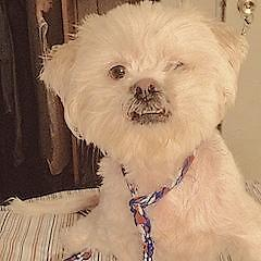 """Adult Male Dog - Lhasa Apso: """"UNSINKABLE ANDY CAPP"""""""