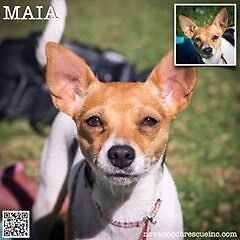 Maia - Small Female Mini Fox Terrier Mix North Arm Cove Great Lakes Area Preview