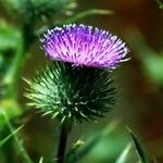 Thistle_Dew_Beautifully