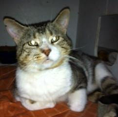 """Adult Male Cat - Tabby - Brown-Tabby - white: """"Carouso"""""""
