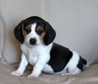 Puppy for sale - Beagle