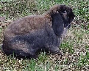 Neutered Holland Lop Bunny and Supplies