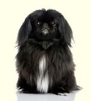 Looking for a Pekingese /pug/or teacup puppy for sale