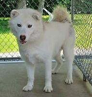 "Adult Male Dog - Husky: ""Jasper"""