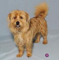 """Young Male Dog - Terrier-Poodle: """"Aiden"""""""