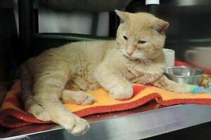 "Adult Male Cat - Domestic Short Hair: ""Colby"""