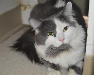 Adult Male  - Domestic Medium Hair - gray and white