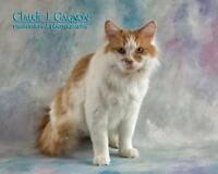 """Adult Female Cat - Domestic Medium Hair: """"Coco"""""""