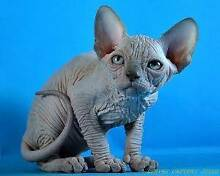 Wtb sphynx or bambino Cundletown Greater Taree Area Preview