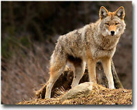 Coyote Hunting/Pest control