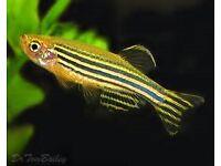 15 danios tropial fish