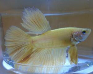 Lemon Yellow Super Delta Betta Fish