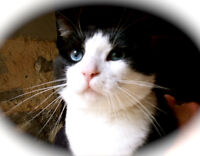 "Young Male Cat - Domestic Short Hair-black and white: ""Frankie"""