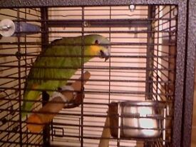 Amazon parrot and cage for sale 126cm cage height. Had parrot 4 years sadly selling due to work.