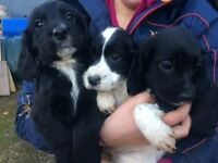 Sprockers Puppies