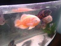 Large cichlids