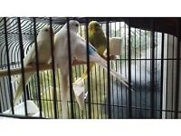 budgies, zebra finches and canaries for sale, amazing colours