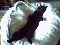 FREE Black Male Cat
