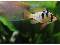 GERMAN BLUE RAM MICROGEOPHAGUS RAMIREZI DWARF CICHLID Live aquarium fish