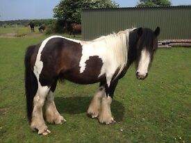 2 Gypsy cob mares for sale *price reduced*