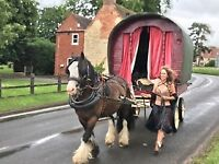 Ride and drive gelded 14.2 cob horse for sale